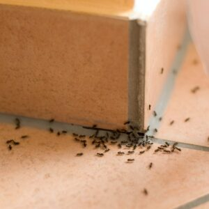 Common Ants Found in Homes